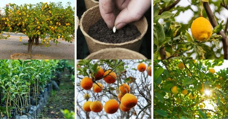 How To Grow a Giant Lemon Tree Absolutely Anywhere