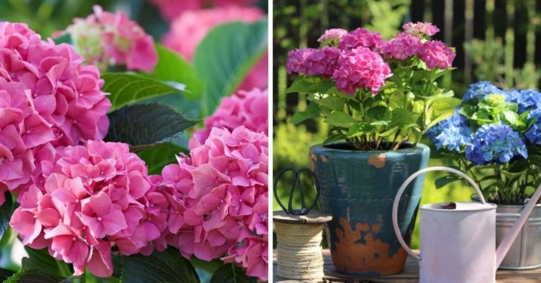 16 Tips for Growing Hydrangeas + Control Their Color