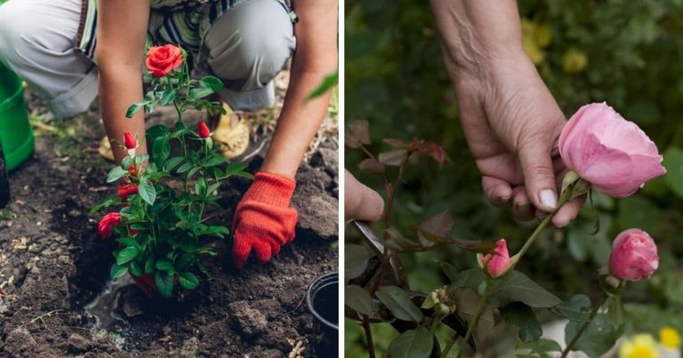 10 Tips for a Garden Full of Beautiful and Healthy Roses