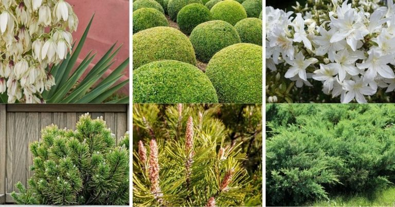 30 Best Evergreen Shrubs and Trees You Can Grow